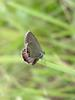 암먹부전나비(Everes argiades) - Short-tailed Blue