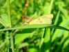 노랑나비(Colias erate) - Eastern Pale Clouded Yellow Butterfly
