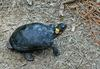 A couple critters - Bog Turtle (Clemmys muhlenbergii)100.jpg