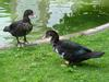 Muscovy duck pair