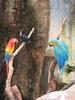 scarlet macaw, red-billed toucan & Catalina macaw