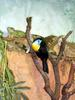 Channel-billed toucan & green iguana