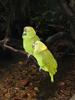 One of the Amazon Parrot species