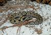 eastern hognose snake 501.jpg
