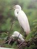 중대백로 Egretta alba modesta (Large Egret on nest)