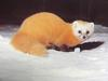 산달 Martes melampus coreensis (Korean Marten)