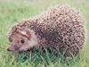 고슴도치 Erinaceus europaeus koreensis (Korean Hedgehog)