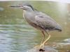 검은댕기해오라기 Butorides striatus amurensis (Green-backed Heron, Striated Heron)
