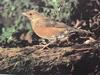 붉은배지빠귀 Turdus chrysolaus (Brown Thrush)