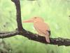 호반새 Halcyon coromanda major (Ruddy Kingfisher)