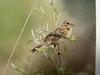 붉은뺨멧새 Emberiza fucata (Chestnut-eared Bunting, Gray-headed Bunting)