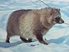 너구리 Nyctereutes procyonoides koreensis (Korean Raccoon Dog)