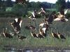 [WorldStart Wallpaper - Animal Set 1] Sandhill Crane flock take off