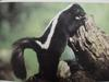 줄무늬스컹크 Mephitis mephitis (Striped Skunk)