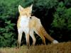 여우 Vulpes vulpes (Red Fox)