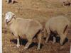 면양 Ovis aries (Feral Sheep)