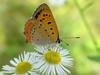 작은주홍부전나비 (Lycaena phlaeas) - Small Copper Butterfly