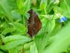 네발나비 가을형 - Polygonia c-aureum (Asian Comma Butterfly)