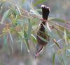 spiny cheeked honeyeater(2 pics)