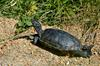 Yellowbelly Slider (Trachemys scripta scripta)