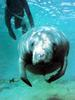 카리브바다소 Trichechus manatus (West Indian Manatee)