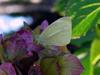 butterfly, Common Cabbage White butterfly
