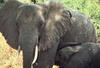 African Elephants (Loxodonta africana) mother and calf