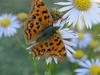 네발나비 Polygonia c-aureum (Asian Comma Butterfly)