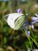 배추흰나비 Artogeia rapae (Common Cabbage White Butterfly)