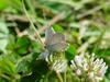 암먹부전나비 Everes argiades (Short-tailed Blue Butterfly)