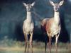 유럽 붉은사슴 Cervus elaphus (Red Deer)