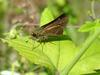 줄점팔랑나비 Parnara guttata (Common Straight Swift Butterfly)