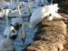 Mute swans at Linlithgow - mute swan (Cygnus olor)