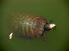청거북 Trachemys scripta elegans (Red-eared Pond Slider Turtle)