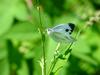 대만흰나비 Pieris canidia (Indian Cabbage White)