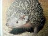 마다가스카르고슴도치붙이 Setifer setosus (Greater Hedgehog Tenrec)