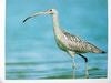 알락꼬리마도요 Numenius madagascariensis (Far Eastern Curlew)