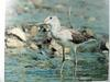 청다리도요 Tringa nebularia (Common Greenshank)