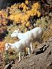 돌산양 Ovis dalli (Dall's Sheep)