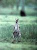 긴꼬리왈라비 Macropus parryi (Whiptail Wallaby)