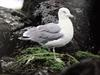 괭이갈매기 Larus crassirostris (Black-tailed Gull)