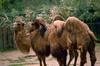 Bactrian Camels (Camelus bactrianus)