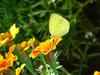 남방노랑나비 Eurema hecabe (Common Grass Yellow Butterfly)