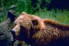 Kodiak Brown Bear (Ursus arctos middendorffi)