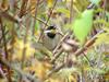노랑턱멧새 Emberiza elegans (Yellow -throated Bunting)