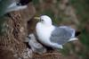 Black-legged Kittiwake and Chick (Rissa tridactyla)