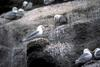Black-legged Kittiwake colony (Rissa tridactyla)
