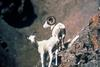 Dall Sheep ewe & ram (Ovis dalli)