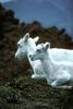 Dall Sheep mother & lamb (Ovis dalli)