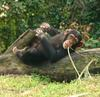 Chimpanzee At Theme Park